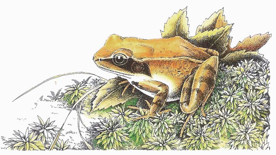 David Carroll Wood frog