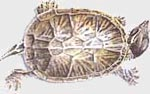 Carroll wood turtle icon
